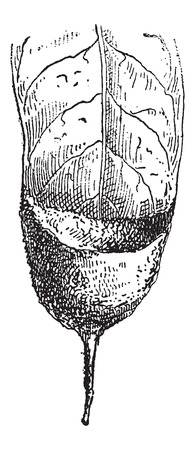 broad leaf: Nest of the Hermit Hummingbird or Phaethornithinae, attached to a broad leaf, vintage engraved illustration. Dictionary of Words and Things - Larive and Fleury - 1895