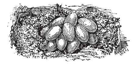 bombus: Nest of the Bumblebee or Bombus sp., built underground, showing eggs, vintage engraved illustration. Dictionary of Words and Things - Larive and Fleury - 1895