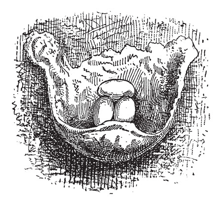 arboreal: Nest of the Cliff Swallow or Petrochelidon sp., made of mud, showing eggs, vintage engraved illustration. Dictionary of Words and Things - Larive and Fleury - 1895