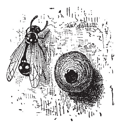 avispa: Nido de la Avispa de alfarero o Eumenes sp., Hecho de barro, en forma de olla, añada una ilustración grabada. Diccionario de palabras y las cosas - Larive y Fleury - 1895