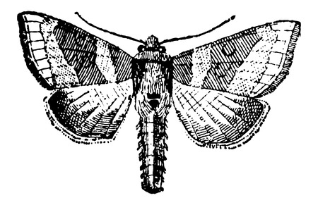 moths: Moth, vintage engraved illustration. Dictionary of Words and Things - Larive and Fleury - 1895