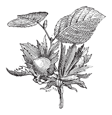 corylus: Hazel or Corylus sp., showing flowers with nuts, vintage engraved illustration. Dictionary of Words and Things - Larive and Fleury - 1895