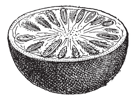 semen: Nux Vomica or Strychnos nux-vomica, showing nut cross-section, vintage engraved illustration. Dictionary of Words and Things - Larive and Fleury - 1895