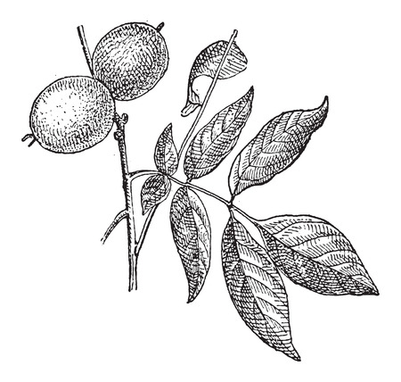 Walnut or Juglans regia, showing nuts, vintage engraved illustration. Dictionary of Words and Things - Larive and Fleury - 1895