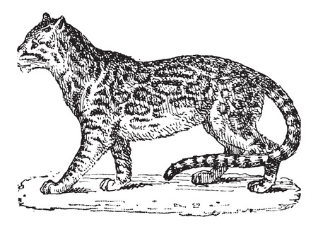 carnivora: Ocelot or Dwarf Leopard or Leopardus pardalis, vintage engraved illustration. Dictionary of Words and Things - Larive and Fleury - 1895