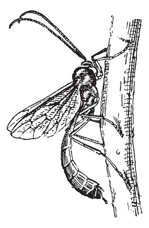 ichneumonidae: Old engraved illustration of Ichneumon wasp or Ichneumon or scorpion wasp or Ichneumon fly. Dictionary of words and things - Larive and Fleury ? 1895 Illustration