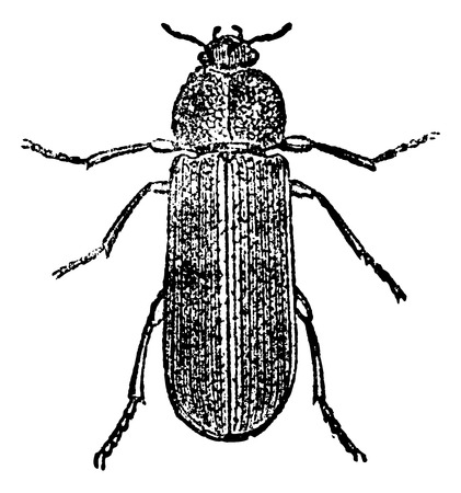magasin pittoresque: Cis Beetle, vintage engraved illustration. Cis Beetle isolated on white. Magasin Pittoresque 1875. Illustration