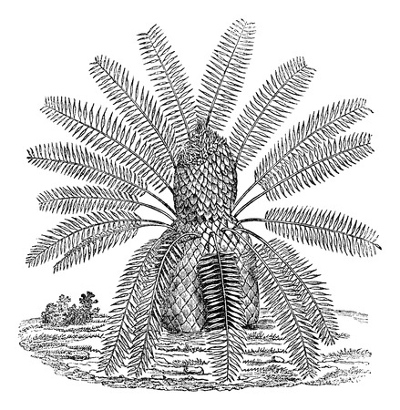 plants species: Zamia spiralis, vintage illustrazione inciso. Magasin Pittoresque 1875. Vettoriali