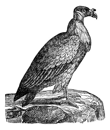 magasin pittoresque: Vulture, vintage engraved illustration. Magasin Pittoresque 1875