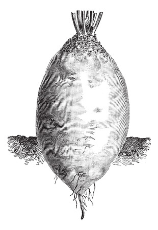 ovoid: Old engraved illustration of the ovoid shape Yellow Beet or Beta vulgaris. Industrial encyclopedia E.-O. Lami - 1875.