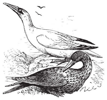 immature: Adult and immature northern gannets or Morus Bassanus old engraving in black in white Illustration