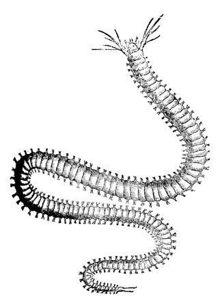palourde: Nereididae ou ragworm ou Clam ver, illustration vintage grav� Illustration