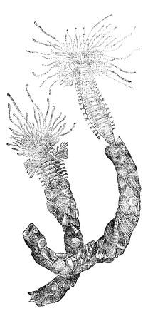 Worm (annelid), vintage engraved illustration