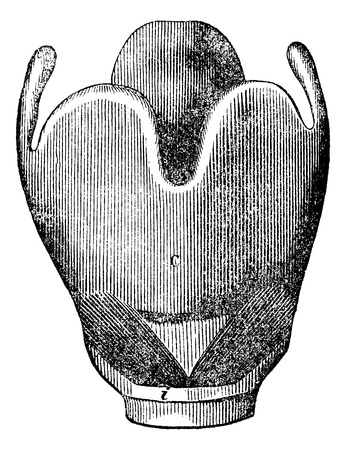 larynx: Larynx anatomy, vintage engraved illustration