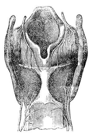 lateral cord: Arytenoid cartilage, vintage engraved illustration Illustration