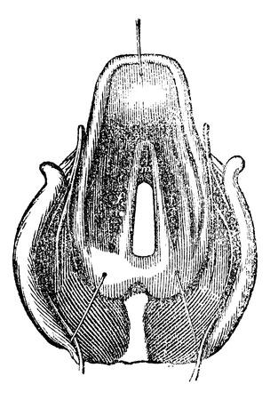 laringe: Vista superior de la laringe, ilustraci�n de la vendimia grabado Vectores