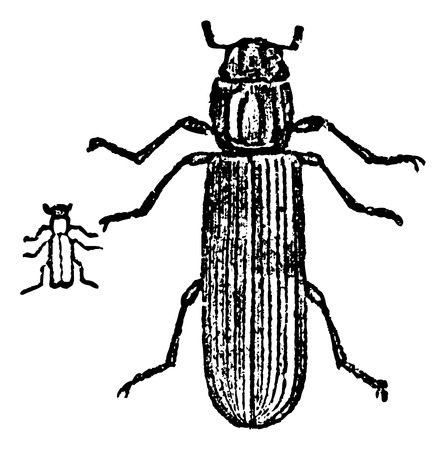 Lyctus beetle, vintage engraved illustration. Stock fotó - 37385613