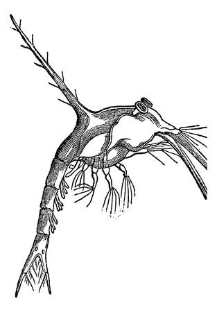 invasive: Zoe (monculus Taurus), vintage engraved illustration Illustration