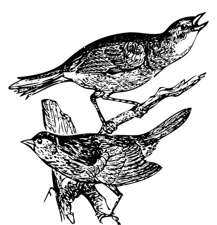 Old engraved illustration of a Seaside sparrow and Lincolns sparrow or zonotrichia lincolnii and ammodromus maritimus Иллюстрация