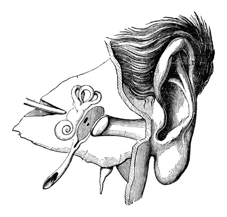 the human ear: Parts of the Human Ear, vintage engraved illustration