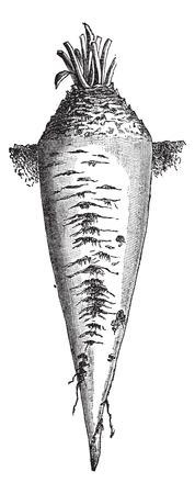 Alt graviert Illustration der Zuckerrüben oder Beta vulgaris isoliert auf einem weißen Hintergrund. Industrielle Enzyklopädie E.-O. Lami - 1875.