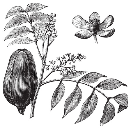 malai: Mohagany or Meliaceae. Melia azedarach illustration. Also called Persian Lilac, White Cedar, Chinaberry, Texas Umbrella, Bead Tree, Lunumidella, Ceylon Cedar, malai vembu, Bakain and DharekDhraik. Branch with close-up of the fruit and flower. Illustration