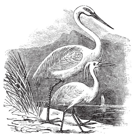 temperate: Engraving of a Great Egret (ardea alba) and Little Egret (ardea garzetta). Old vintage engraved illustration of two species of egret or heron.