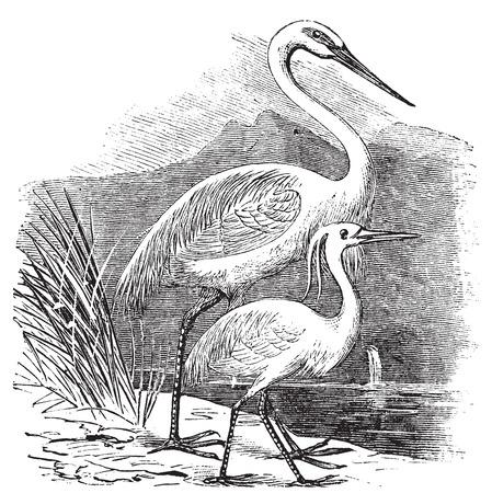 egret: Engraving of a Great Egret (ardea alba) and Little Egret (ardea garzetta). Old vintage engraved illustration of two species of egret or heron.