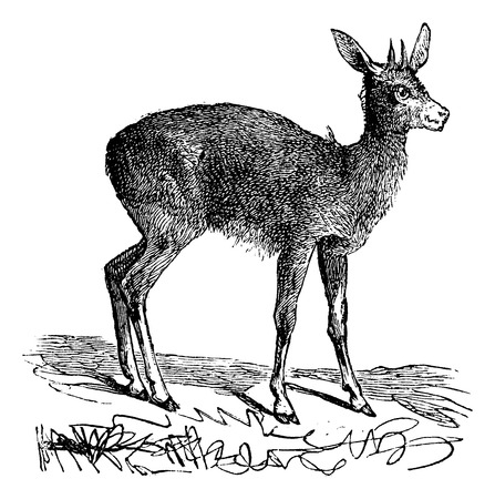 Klipspringer or mvundla, Oreotragus Saltatrix or Oreotragus oreotragus vintage engraving. Old engraved illustration of a Klipspringer in his environment  イラスト・ベクター素材