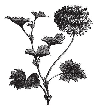 ornamental horticulture: Geranium or Storksbill or Pelargonium zonale, vintage engraved illustration. Trousset encyclopedia (1886 - 1891).