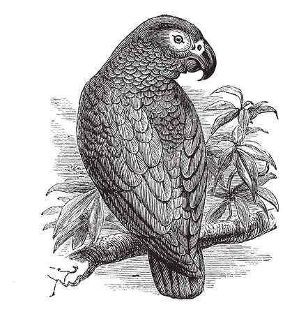 African Grey Parrot or Psittacus erithacus or Grey Parrot, vintage engraving. Old engraved illustration of African Grey Parrot waiting on a branch. Stock Illustratie
