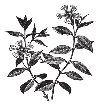 creeping: Periwinkle or Vinca minor, vintage engraved illustration. Trousset encyclopedia (1886 - 1891).