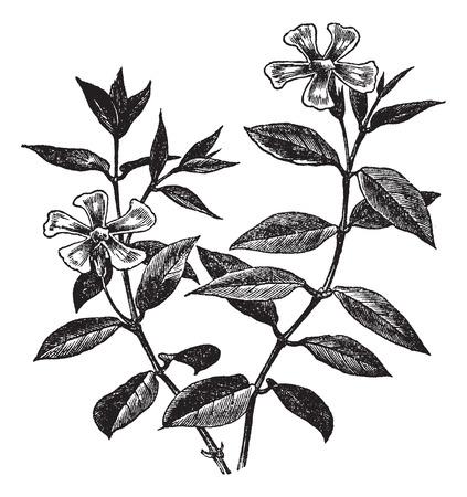 herbology: Periwinkle or Vinca minor, vintage engraved illustration. Trousset encyclopedia (1886 - 1891).