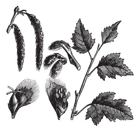 White Poplar or Populus alba, vintage engraved illustration, showing female catkins (upper left) and male catkins (lower left). Trousset encyclopedia (1886 - 1891).