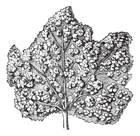 parasites: Phylloxera. - Surface of a leaf covered with galls, vintage engraved illustration. Trousset encyclopedia (1886 - 1891).