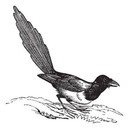 Black-billed Magpie (Pica hudsonia), vintage engraved illustration. Trousset encyclopedia (1886 - 1891).