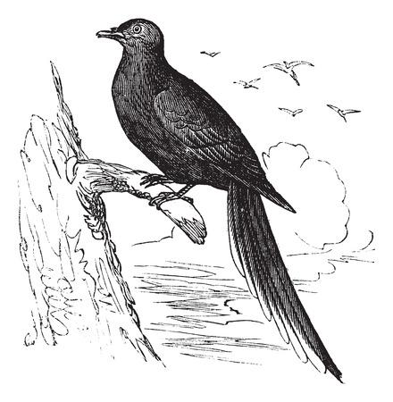 Passagiersduif of Wilde Duif (Ectopistes migratorius), vintage gegraveerde illustratie. Passagiersduif op boomtak gelegen. Trousset encyclopedie (1886 - 1891). Stock Illustratie