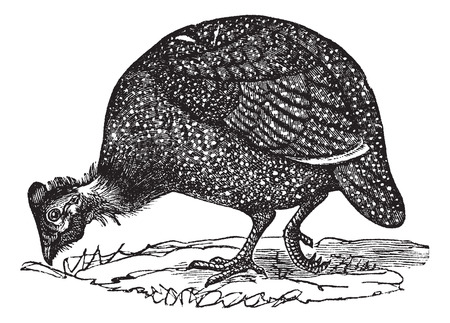Common guinea fowl (Numida meleagris), vintage engraved illustration. Numida meleagris isolated on white. Trousset encyclopedia (1886 - 1891).