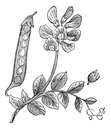 Fabaceae: Peas or Pisum sativum, vintage engraved illustration, showing pod (left) and flower (top center). Trousset encyclopedia (1886 - 1891).