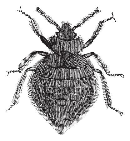 bedbug: Bed bugs (Cimex lectularius) or Cimicidae, vintage engraved illustration. Bedbug isolated on white. Trousset encyclopedia (1886 - 1891).
