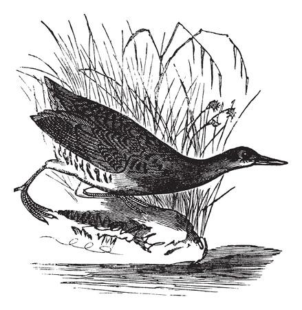 Rallus elegans or King rail, vintage engraving. Old engraved illustration of Rallus elegans waiting outside water.