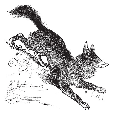 watchful: Red Fox or Vulpes vulpes or Vulpes fulva or Vulpes fulvus, vintage engraving. Old engraved illustration of Red Fox.