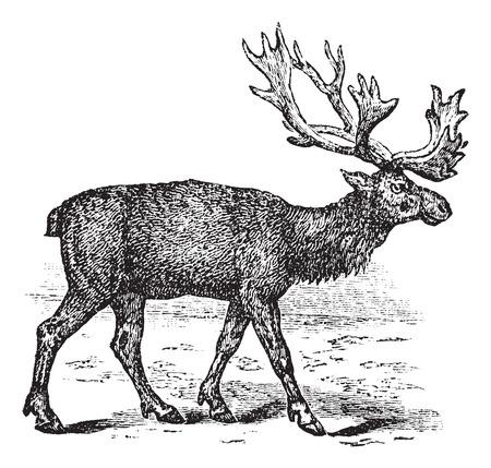 cervidae: Reindeer or Rangifer tarandus or Caribou, vintage engraving. Old engraved illustration of  male Reindeer.