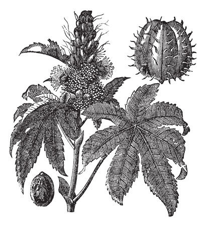 insecticidal: Castor oil plant or Ricinus communis or Palm of Christ, vintage engraving. Old engraved illustration of Castor oil plant isolated on a white background. Illustration