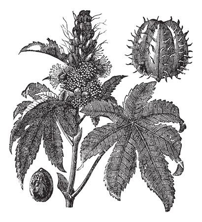 palm oil: Castor oil plant or Ricinus communis or Palm of Christ, vintage engraving. Old engraved illustration of Castor oil plant isolated on a white background. Illustration