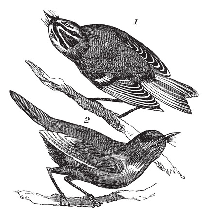 calendula: Golden-crowned Kinglet or Regulus satrapa and Ruby-crowned Kinglet or Regulus calendula, vintage engraving. Old engraved illustration of Golden-crowned Kinglet (1) and Ruby-crowned Kinglet (2) waiting on a branch.
