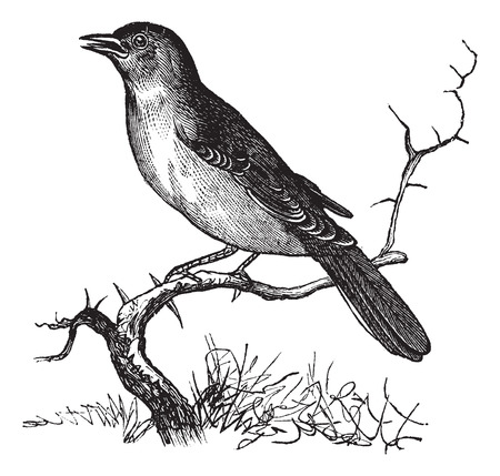 ruiseñor: Nightingale o Luscinia megarhynchos o rufo o Ruiseñor común, el grabado de época. Ilustración del Antiguo grabado Nightingale esperando en una rama.