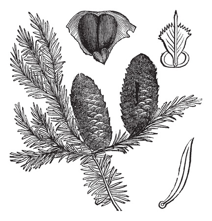balsam: Balsam fir or Abies balsamea, vintage engraving. Old engraved illustration of Balsam fir isolated on a white background.