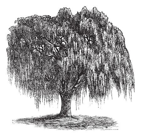 Babylon Willow oder Echte Trauerweide oder Peking Willow oder Trauerweide, Vintage-Gravur. Alt graviert Illustration der Babylon Weide.