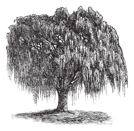 willow: Babylon Willow or Salix babylonica or Peking Willow or Weeping willow, vintage engraving. Old engraved illustration of Babylon Willow tree. Illustration